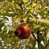(Deutsch) Granatapfelmarmelade - ein winterlicher Fruchtgenuss