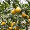 Karen - die Meyer Lemon Lady aus Kalifornien